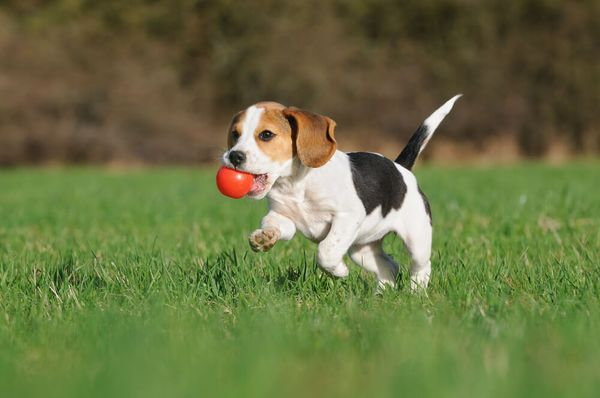 8 Beagle Pros And Cons: Is A Beagle The Right Dog For You?