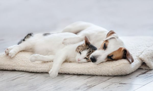 Dogs Good with Cats: 8 Cat-friendly Breeds