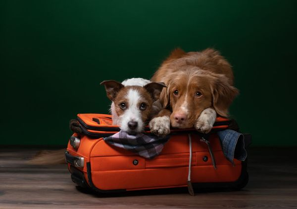 Flying With A Large Dog: 7 Tips For An Enjoyable Travel Experience