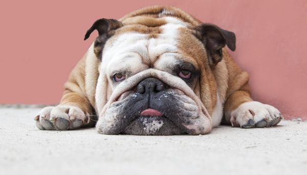 7 Small Lazy Dogs Perfect for Apartments