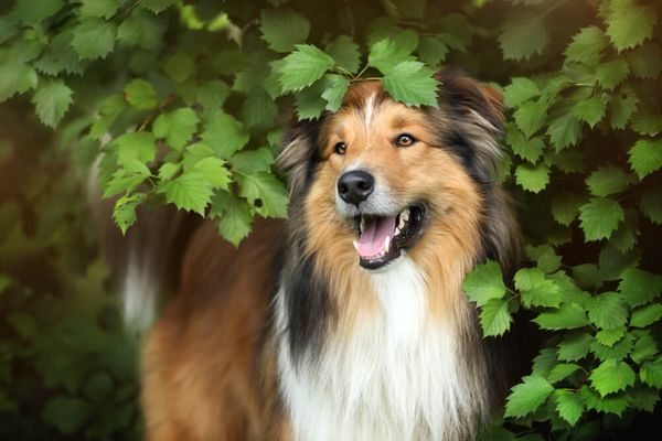 Collie Temperament: 6 Personality Traits Explained to Get to Know Collies Better