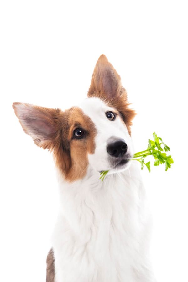 Is Parsley Good for Dogs? Incredible Benefits of Herbs for Pooches
