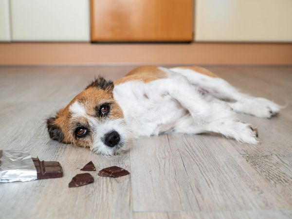 Help, My Dog Ate Chocolate: What Should You Do When This Happens