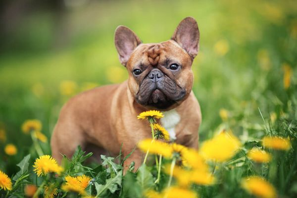 French Bulldog Personality: Get To Know Your Frenchie