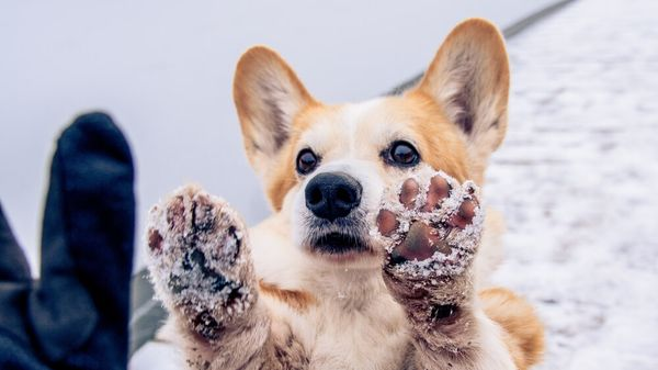 Snow Patrol: Keep Your Dog's Paws Healthy This Winter